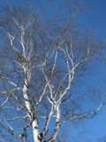 Crone of a birch Stock Image
