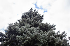 Crone of the Colorado blue spruce. Against the cloudy sky background stock photos