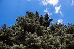 Crone of the Colorado blue spruce. Against the blue sky background stock images