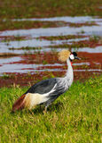Crone crane on green shore. SweetWater, Africa Royalty Free Stock Image