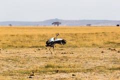 Crone dźwigowy ptak tanczy w sawannie Amboseli, Kenja Fotografia Royalty Free