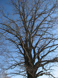 Crone of an oak Stock Photography