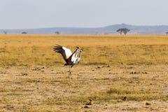 Crone żuraw Taniec w sawannie Amboseli, Kenja Obraz Royalty Free