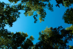 Crones of trees. Sunny summer day Royalty Free Stock Image