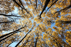 Crones of trees. The bottom view royalty free stock image