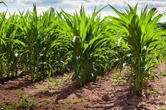 Cronstalks s'élevant dans un champ de maïs Photographie stock libre de droits