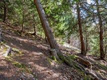 Croocked sosna zamknięta w górę pięknego sosnowego lasu w zdjęcie royalty free