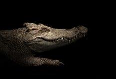 Croodile in the dark Stock Photos