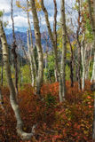 Crooked Aspens Stock Image