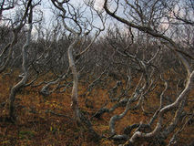 Crooked birch. Kamchatka,drunk birch,top mountain Stolovaya.Russian Federation Royalty Free Stock Photos