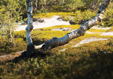 Crooked birches Stock Image