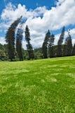 Crooked Cook Pines. (Araucaria columnaris) in Peradeniya Botanical Gardens. Kandy, Sri Lanka Royalty Free Stock Images