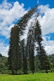 Crooked Cook Pines (Araucaria Stock Images