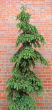 Crooked Fir Conifer Spruce Pine Tree with Red Brick Background Stock Photo