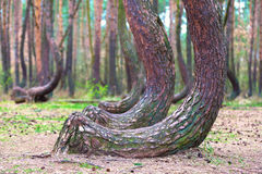 Crooked forest in Gryfino in Poland Stock Images