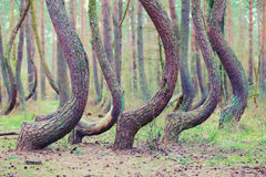 Crooked forest in Gryfino in Poland Royalty Free Stock Image