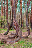 Crooked forest in Gryfino in Poland Stock Photography