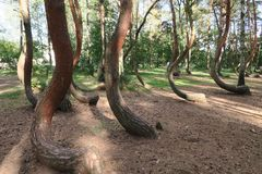 The crooked forest, Krzywy Las, Nowe Czarnowo,Poland Royalty Free Stock Photo