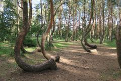 The crooked forest, Krzywy Las, Nowe Czarnowo Royalty Free Stock Images