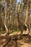 Crooked Forest in Nowe Czaernowo , Poland Royalty Free Stock Photography