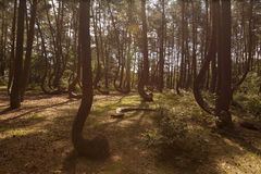 Crooked Forest in Nowe Czaernowo , Poland Royalty Free Stock Image
