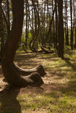 Crooked Forest in Nowe Czaernowo , Poland Stock Photography