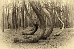 Crooked forest in Poland Stock Photos