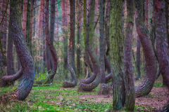 Crooked forest in Poland. Mysterious crooked forest in Gryfino, Poland - shallow depth of field Stock Images
