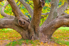 Crooked old deciduous tree Royalty Free Stock Images
