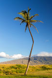 The Crooked Palm Tree Stock Photography