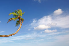 Crooked palm tree Stock Photography