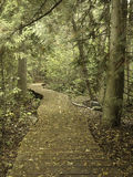 The Crooked Path in the Woods. A windy wooden path in the woods during the fall time, with leaves of yellow all around Royalty Free Stock Photos