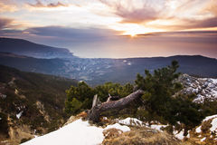 Crooked pinetree at dawn above the sea in. Crooked pinetree at sunrise above the Black sea in mountains Royalty Free Stock Photo
