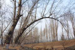 Poplars. The crooked poplars in early spring Stock Images