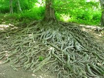 Crooked roots Stock Photography