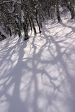 Crooked shadows of bare aspens on winter snow Royalty Free Stock Photo