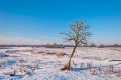 A crooked solitary tree in a snowy field Stock Photo