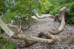 Crooked sycamore tree at garda lake shore Royalty Free Stock Photography