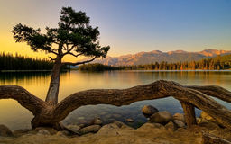 Crooked Tree Stock Photos