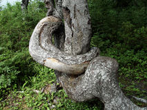 Crooked Tree. That is all twisted up, old tree stock image