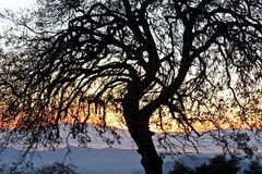 Crooked Tree. Crooked Oak Tree during sundown in Yuba County Royalty Free Stock Photo