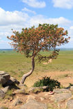 Crooked tree growing on the stone mountain Royalty Free Stock Photo