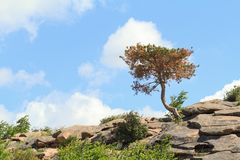 Crooked tree growing on the stone mountain Stock Images