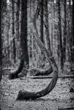 Crooked tree in Gryfino in Poland Stock Photo