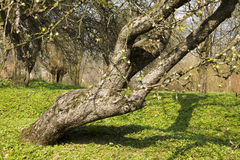 Crooked tree Royalty Free Stock Image