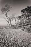 Crooked Tree. At West Beach of Darss Island, german Baltic Sea Coast of Mecklenburg Western Pomerania Royalty Free Stock Image