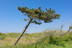 Crooked tree Stock Images