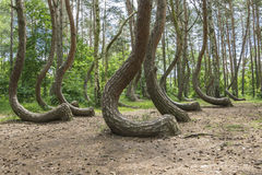 Crooked Wood in Poland. Amazing, unparalleled crooked forest in Poland Stock Photos