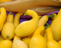 Crookneck squash (botanical name: Cucurbita pepo; species: Yello Royalty Free Stock Images