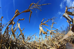 Crop. Fish eye view of corn field in autumn after a crop Stock Photo
